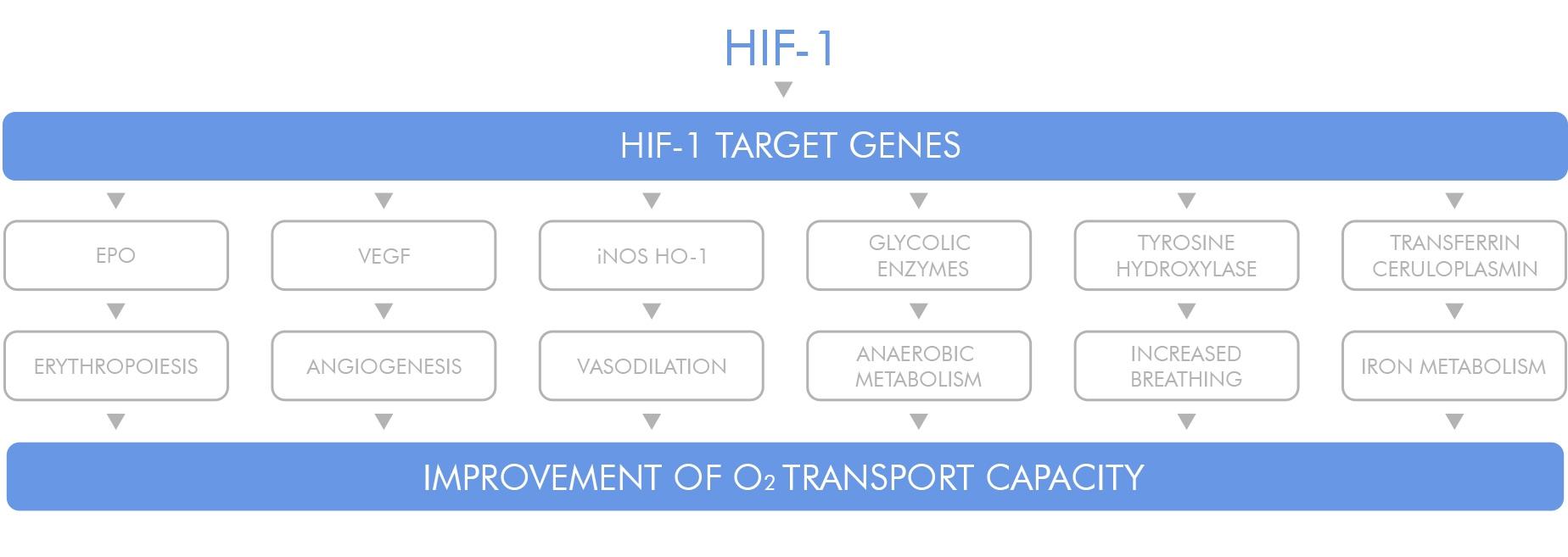 HIF-1